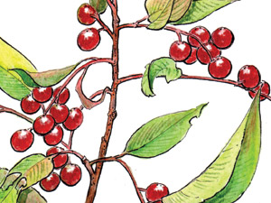 Chokecherry-thumb