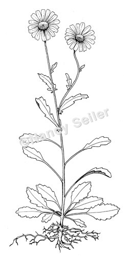 Oxeye Daisy  Chrysanthemum leucanthemum vulgareLeucanthemum Vulgare Drawing