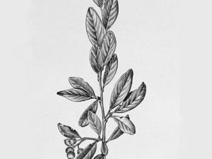Cotoneaster-thumb