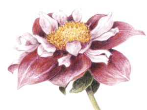 Dahlia-CP-thumb