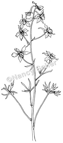 larkspur coloring pages - photo#23