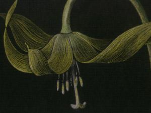 Glacier-Lily-thumb