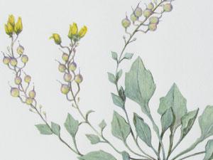 Lesquerella-pruniosa-thumb