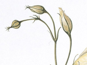Lysianthus-thumb