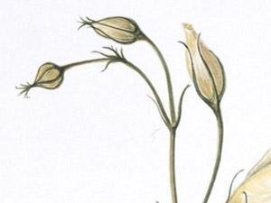 Lysianthus-thumb