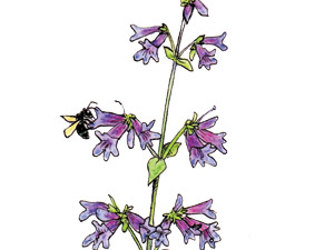 Orchard-Mason-Bees-on-Wilcox's-penstemon-NC-thumb