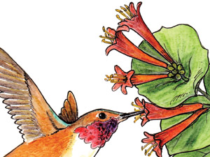 Rufous-Hummingbird-Lonicera-ciliosa-NC-thumb