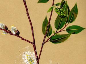 Salix-boothii-DORN-lores-copy-thumb