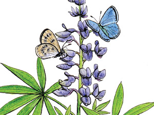Silvery-blue-butterfly-on-lupine-NC-thumb