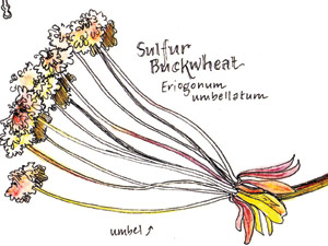 SulfurBuckwheat-thumb
