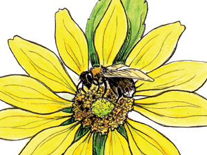 Western-bumblebee-on-Maximilian-sunflower-thumb