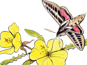 White-lined-sphinx-moth-on-yellow-evening-primrose-NC-thumb